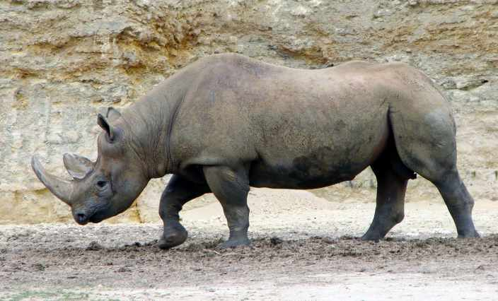 wester-black-rhinoceros